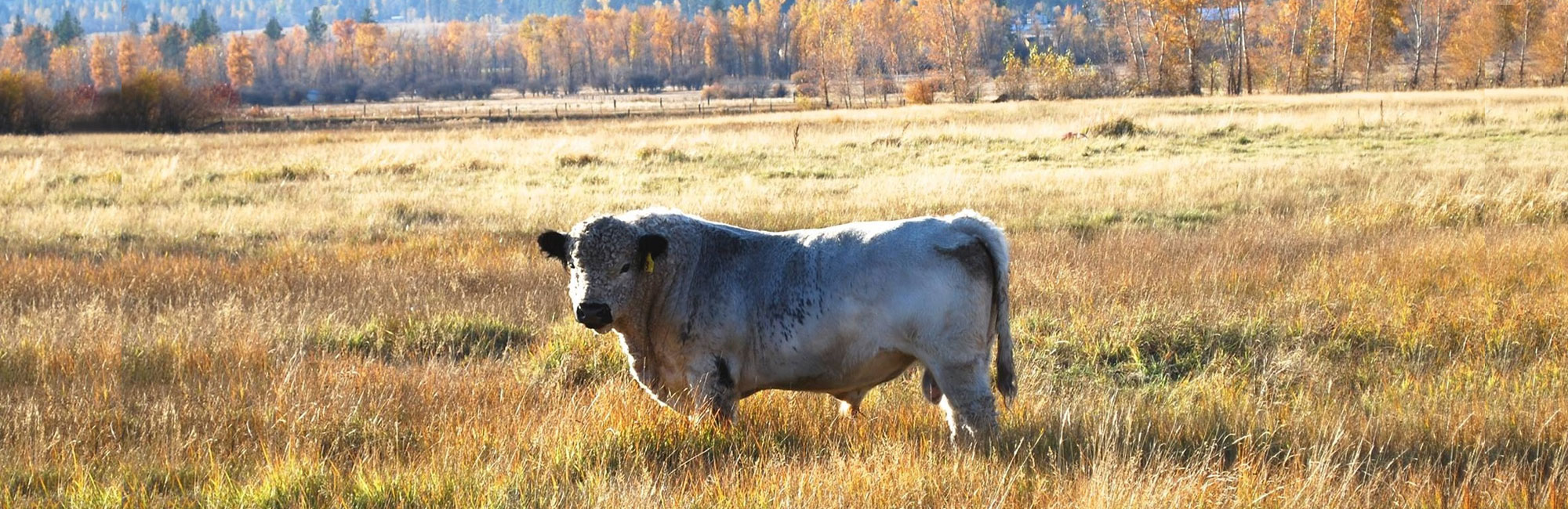 American Galloway Breeders Association Welcome